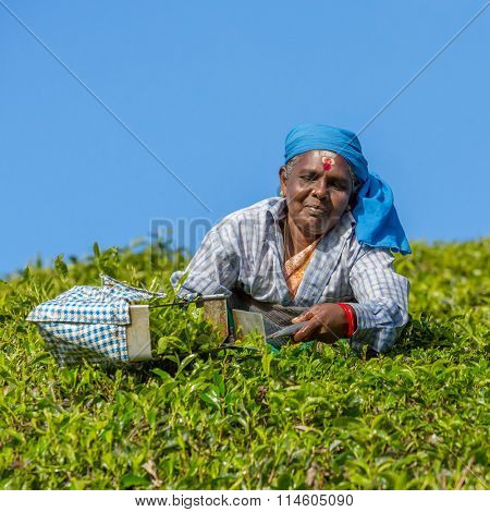 Munnar, India - January 5: Woman picking tea leaves in a tea plantation around Munnar, Kerala, India on January 5, 2016.