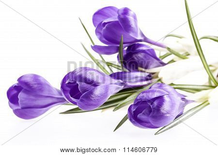 Some Spring Flowers Of Violet Crocus Isolated On White Background
