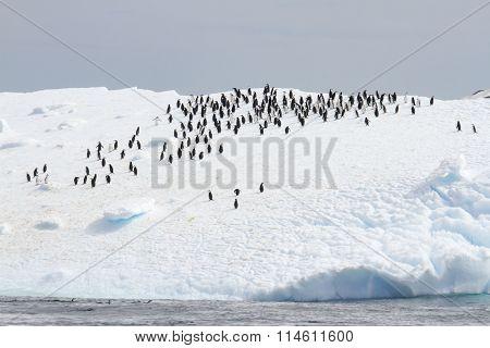 Chinstrap Penguins On Iceberg
