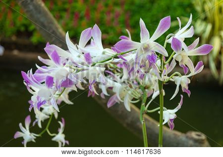 Beauty Of Dendrobium Orchids