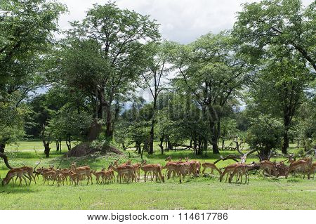 Herd Of Female And Young Impalas