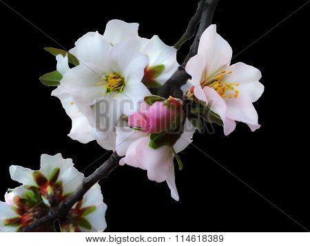 Almond tree flower