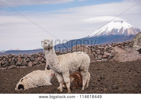 Alpaca Against Volcano