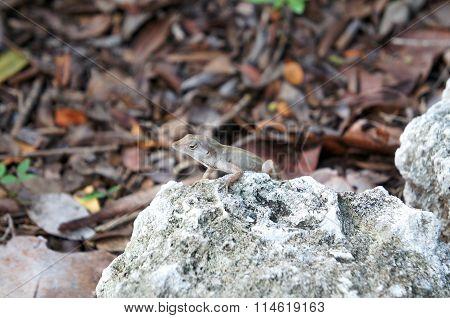 Small lizard on a rock