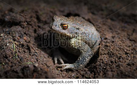Common toad or European toad (Bufo bufo)
