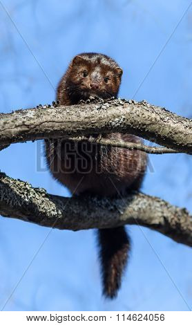 Close-up photo of American minks on a tree in branches