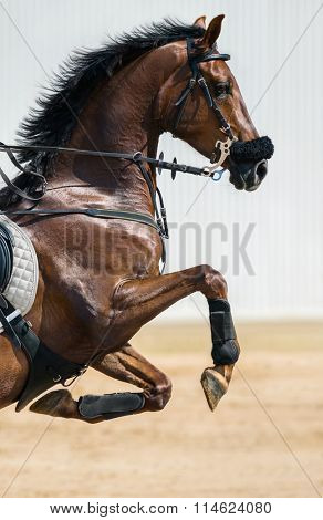 Portrait of a jumping horse in a hackamore on blurry backgrounds