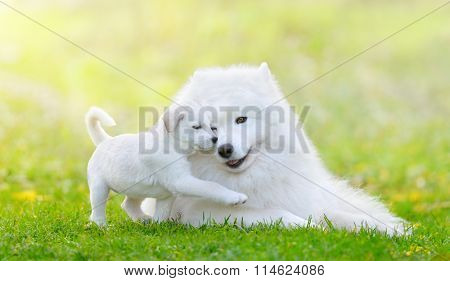 Portrait of two dogs lying down. Mixed breed white puppy and samoyed dog on light green background.