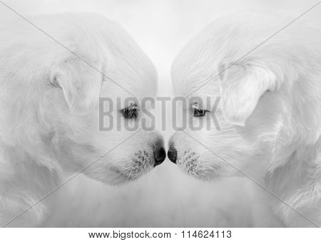 Portrait of two puppies. Mixed breed white puppies on light gray background. Black and White photo.