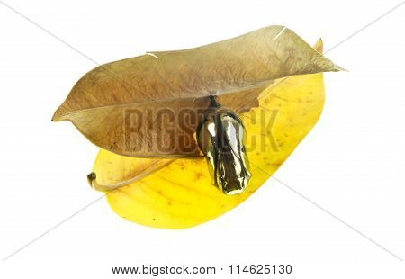 Common Crow Butterfly Chrysalis