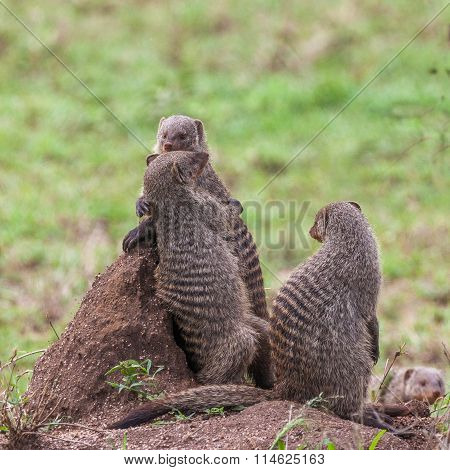 Banded mongooses on a termite mound