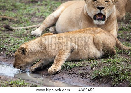 Lioness drinking water