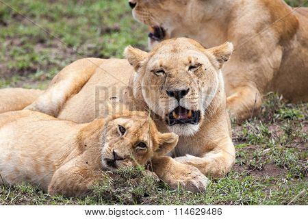 Lioness and cub rubbing heads