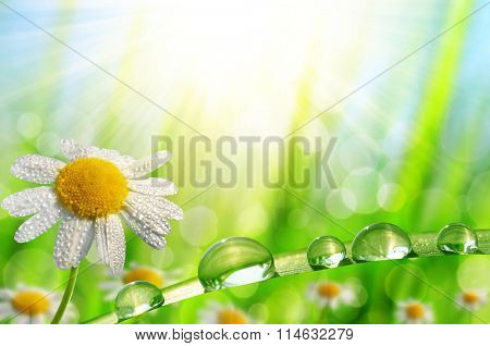 Dew drops on a daisy and green grass. Spring season.