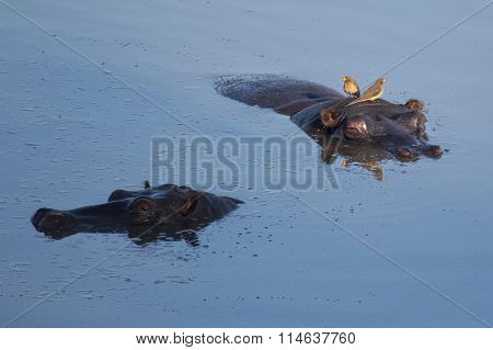 Hippos floating in water with Ox peckers