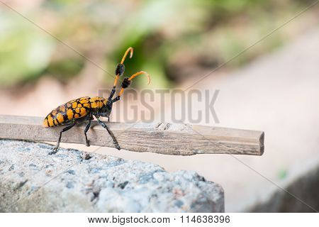 Longhorn beetle on branch, dirty by soil