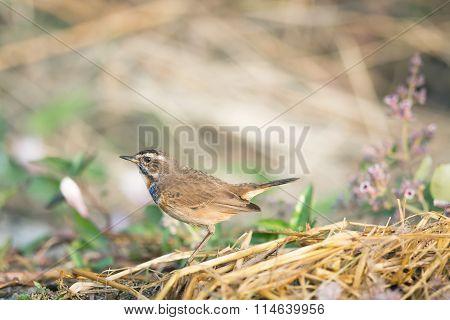 A Blue-throat Robin Bird (luscinia Svecica Cyanecula) On Ground