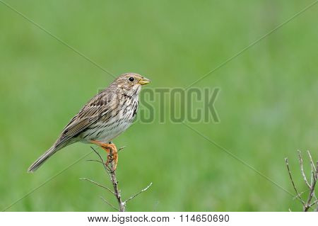 Perching Corn Bunting In Steppe