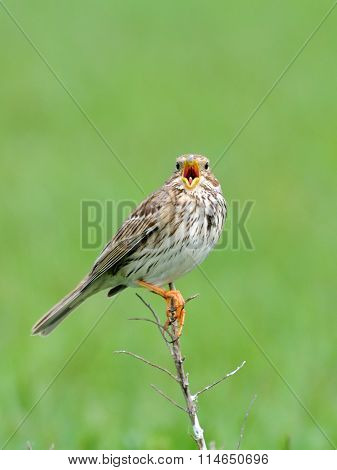 Singing Corn Bunting In Steppe