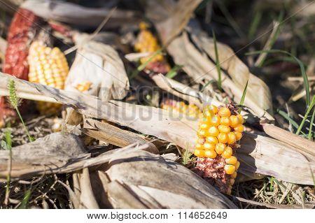 Leftover Corn Cobs