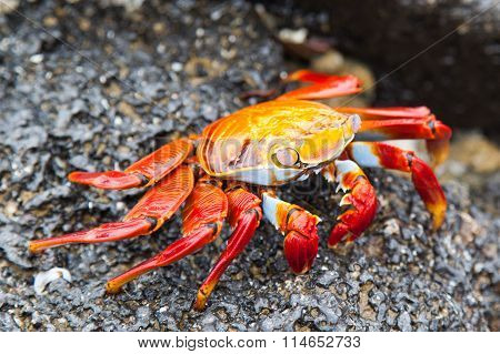 Sally lightfoot crab (Red Rock Crab) on black lava rock,