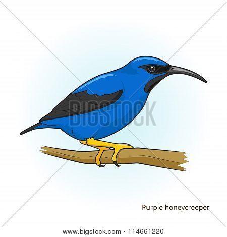 Purple honeycreeper bird educational game vector