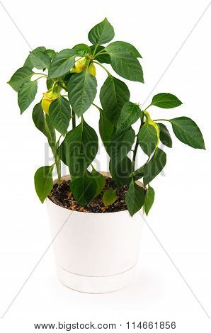 Green pepper plant in a pot isolated on white background
