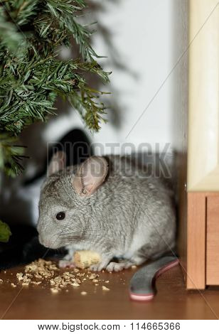Chinchilla under tree