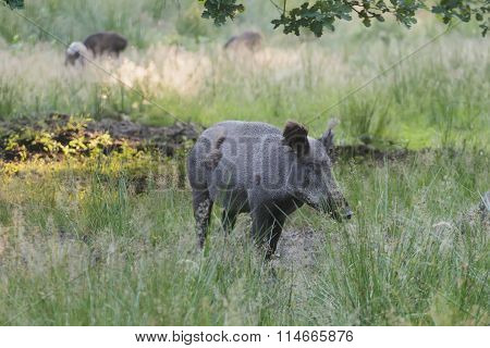 Wild boar or Eurasian wild pig during molting in wildlife