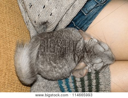 gray Chinchilla sleeping