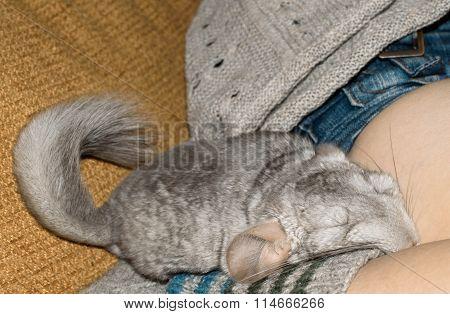 gray Chinchilla sleeping