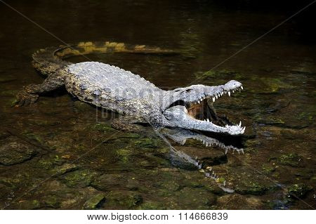 Crocodile In Water. Kenya, Afrca