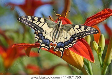 Machaon Butterfly On Flower