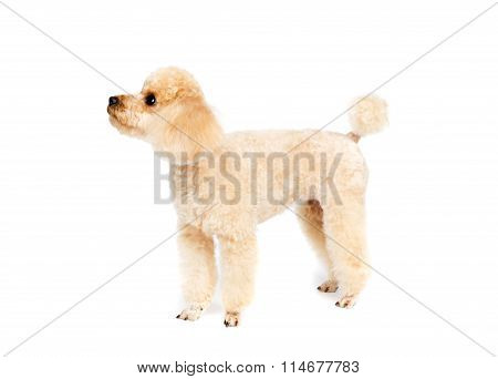 Peach Small Poodle Is Standing Sideways