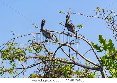 Two Pelican Tree