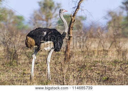 African Ostrich In Kruger National Park