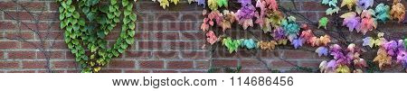 Garden wall with rainbow colored ivy