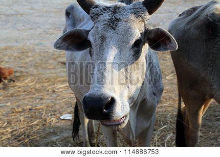 KUMROKHALI, INDIA - FEBRUARY 13: A cow on the street in village Kumrokhali, West Bengal, India on February 13, 2014