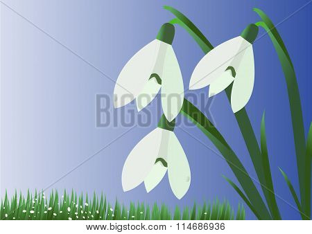 Beautiful white snowdrops on a blue background