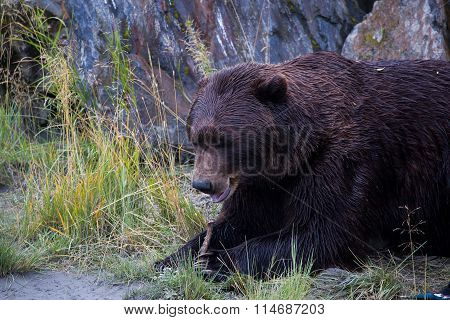 Brown bear in Alaska AWCC
