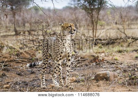 Cheetah In Kruger National Park