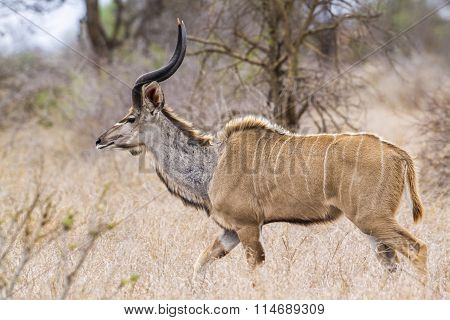 Greater Kudu In Kruger National Park