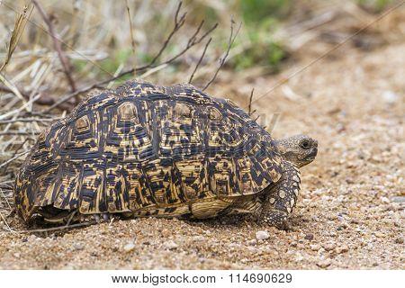 Leopard Tortoise In Kruger National Park