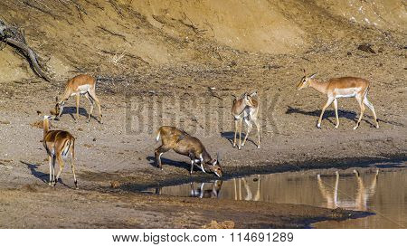 Impala And Nyala In Kruger National Park