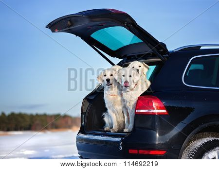 golden retriever dogs in a car trunk