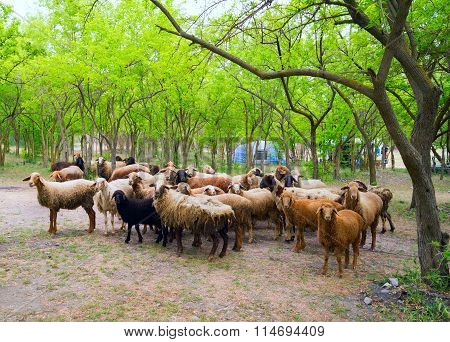 Flock Of Sheep In A Green Grove.