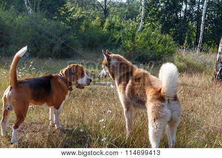 Siberian Husky With Beagle At The Green Grass