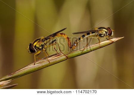 Mate of two insects