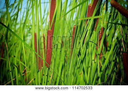 Typha latifolia, Common Bulrush, Broadleaf Cattail