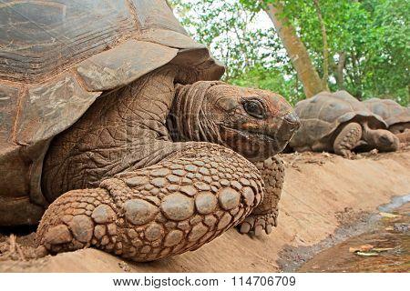 Aldabra giant tortoises (Aldabrachelys gigantea) on prison island, Zanzibar